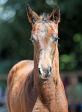 Trakehner Filly by Symont out of Pr.St. Esther by Kostolany