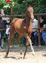 Trakehner Filly by Symont out of Pr.St. Esther by Kostolany - Foto Beate Langels