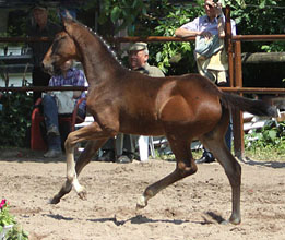 Oldenburger Colt by Symont out of Beloved by Kostolany - Foto Beate Langels