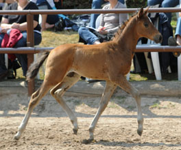 Trakehner Filly by  Amatcho out of PrSt. Ava by Freudenfest, Foto: Beate Langels, Hämelschenburg
