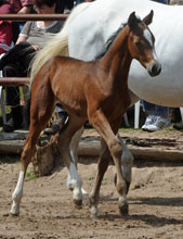 Trakehner Filly by Exclusiv out of Legende X by Primo