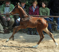 Trakehner Filly by Symont x Freudenfest