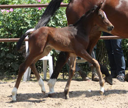 Trakehner Filly by Symont x Freudenfest - Foto Beate Langels