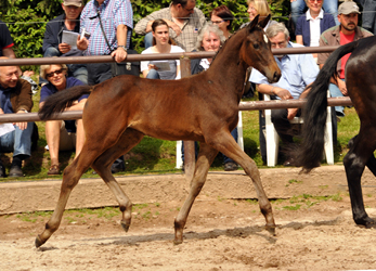 Trakehner Filly by High Motion x Showmaster