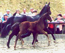 Colt by Summertime - Kostolany, Breeder: Walter v. Weyhe, Fischbeck
