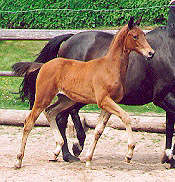 Filly by Freudenfest out of State-Premium-Mare Schwalbenspiel by Exclusiv