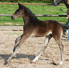 Trakehner colt by Summertime out of Greta Garbo by Alter Fritz