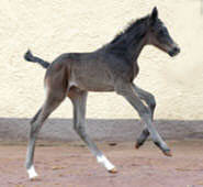 Black colt by Summertime out of Greta Garbo by Alter Fritz (one day old)