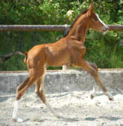 2 days old - Trakehner Colt by Shavalou out of Gwendolyn by Maestro