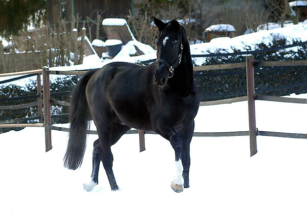 Kostolany (at the age of 25 years) - Foto: Beate Langels, Trakehner Gestüt Hämelschenburg