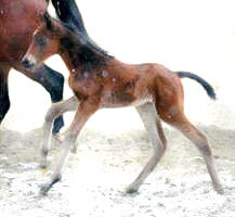 Her first canter: 1 day old!