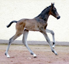 One day old, filly by Shavalou out of Pr.St. Kalmar by Exclusiv
