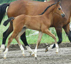 Filly by Shavalou out of SansSouci by Pardon Go, Breeder: Georg Pleister, Melle