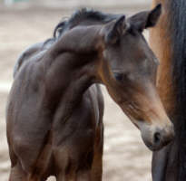 Brown Trakehner colt by Summertime - Ostermond