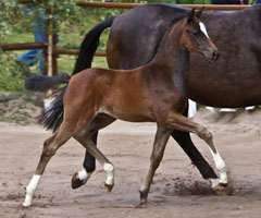 Oldenburger Filly by Totilas out of Pr.St. Schwalbenfeder by Summertime, Foto: Lisa Rullmann
