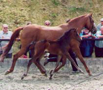 Filly by Summertime out of Peremis by Turnus, Breeder: H. Elsweiler, Eschershausen