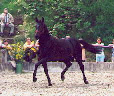 Stroganoff - 2-years old stallion by Exclusiv out of Schamar by Enrico Caruso