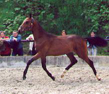 Karenin - 1-year old colt by Schwadroneur out of Kleo's Double by Kostolany