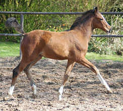 Trakehner Filly by Freudenfest - Exclusiv