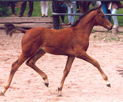 Filly by Showmaster - Matador