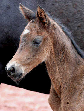 12 hours old - colt by Summertime out of state-premium-mare Schwalbenspiel by Exclusiv