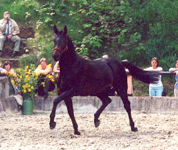 2 years old: Trakehner by Exclusiv - Enrico Caruso