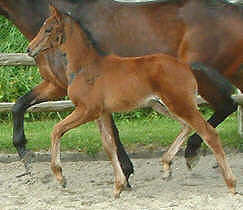 Colt by Summertime out of Platina by Partout, Breeder: Hermann-Josef Vollmers, Schmallenberg