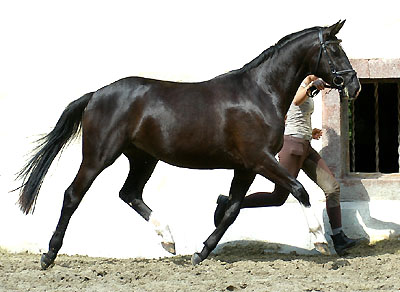 Black Trakehner Mare THIRICA by Enrico Caruso out of Thirza by Karon